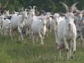Продам партию высококлассного молодняка зааненских коз